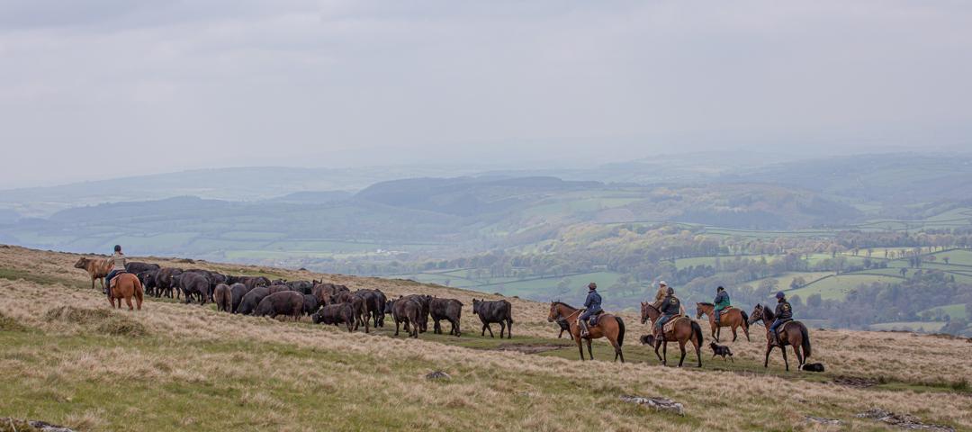 Dartmoor Cattle Drive